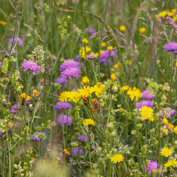 wild-flower-meadow-3386014_1920