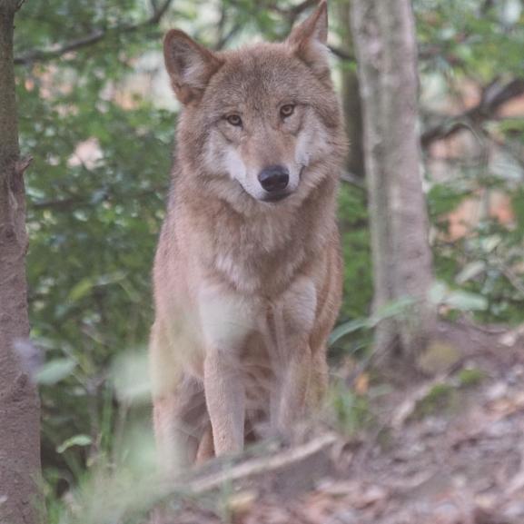 Szabadon kóborol az állatkertből megszökött farkas