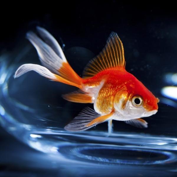 """""""Egyre többen jöttek, és a kívánságok is egyre furcsábbak lettek"""" – élet egy aranyhal szemszögéből"""