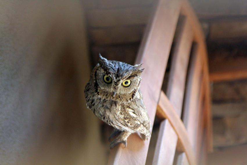 owls-286233_1920