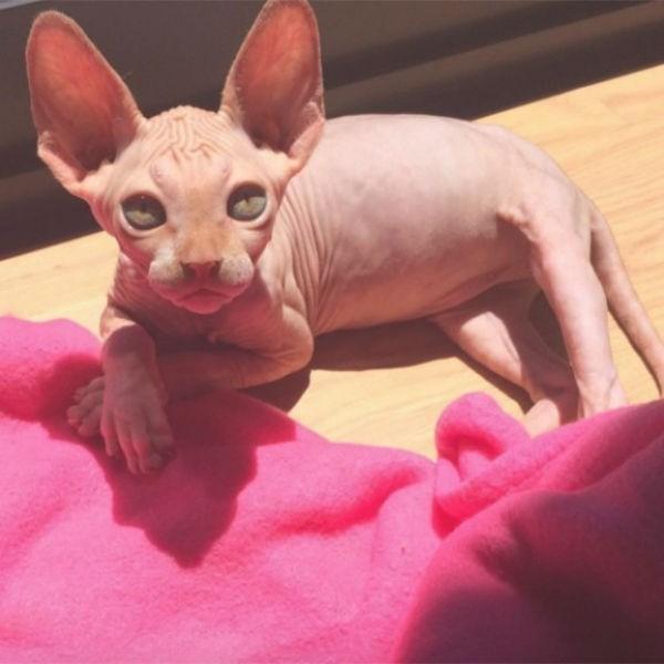 szfinx-cica-macska