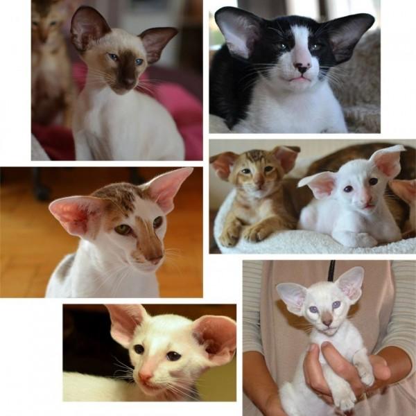sziami-macska-tudnivalok-tenyesztoktol2