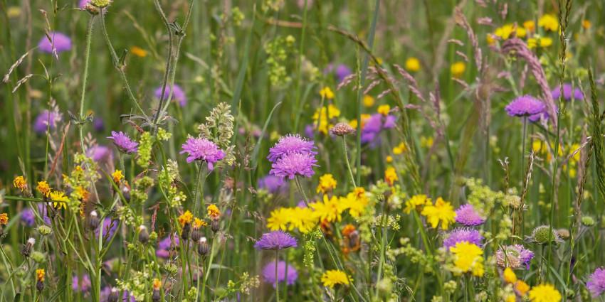 wild-flower-meadow-3386014_1920